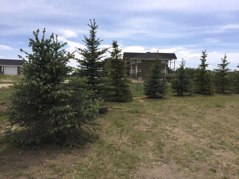 Spruce Trees for sale 10ft +