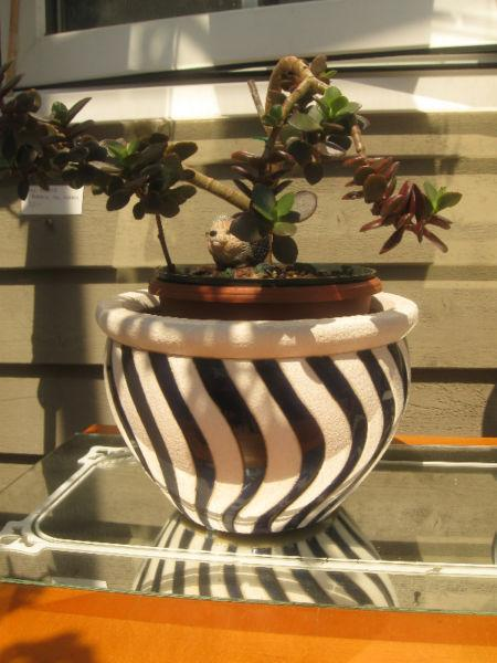 NICELY SHAPED JADE TREE HOUSE PLANT with ORIENTAL BONSAI SHAPING