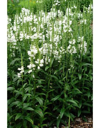 perennials ... Obedience Plants ... White/pale mauve color