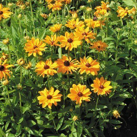 perennials ... Rudbeckia ... yellow/orange flowers