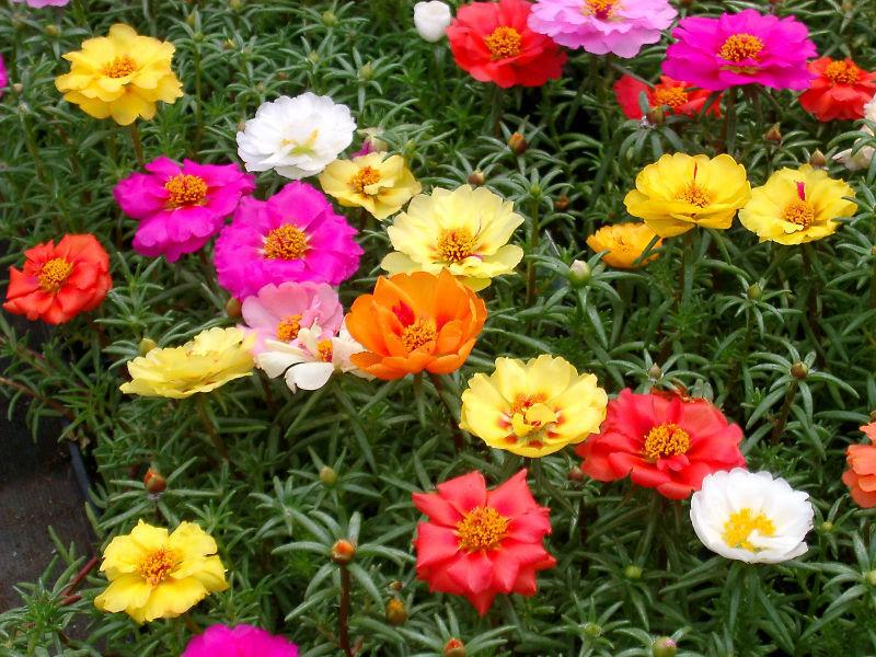 Portulaca or Moss Rose plants ... various colors ... as shown