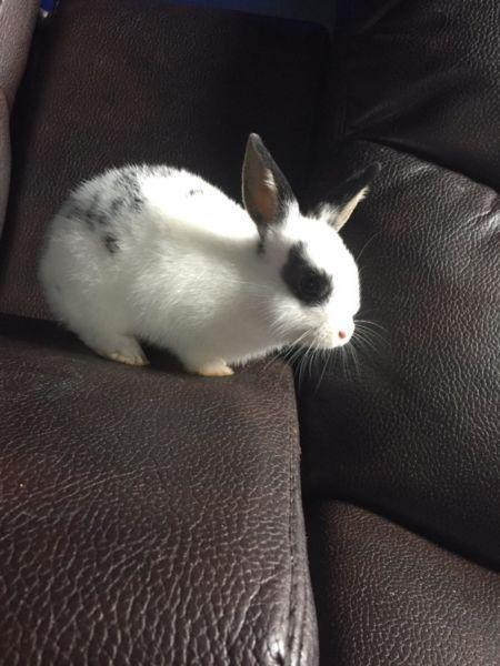 Two dwarf bunnies