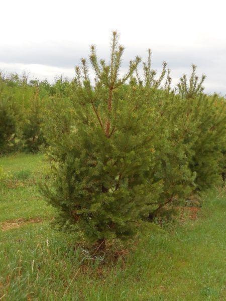 Landscape Trees - Wholesale Prices