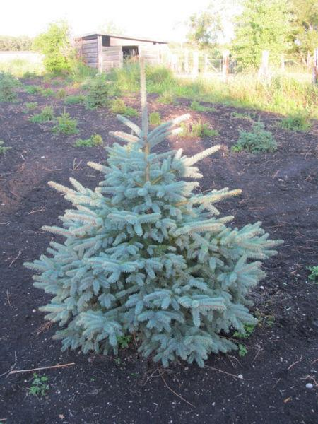 Spruce Trees for LESS! Colorado - Black Hills - White Spruce
