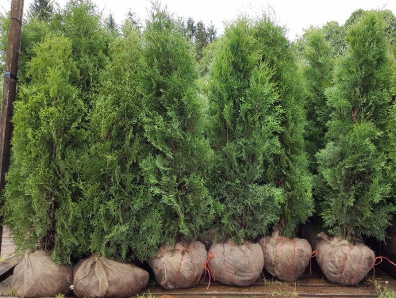 Emerald (Smarag) and Pyramidal Hedging Cedar Trees